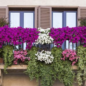 Balkonsko cvetje in enoletnice