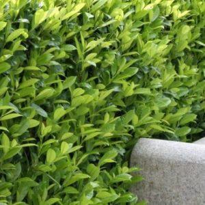 Rastline za živo mejo
